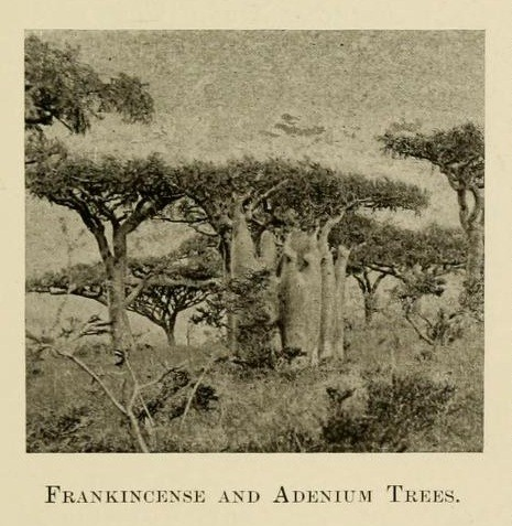 Socotra frankincense tree (left, foreground) with Adenium (center)