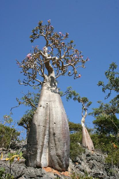 Socotran Fig Tree Dorstenia Gigas Extraordinary Forms