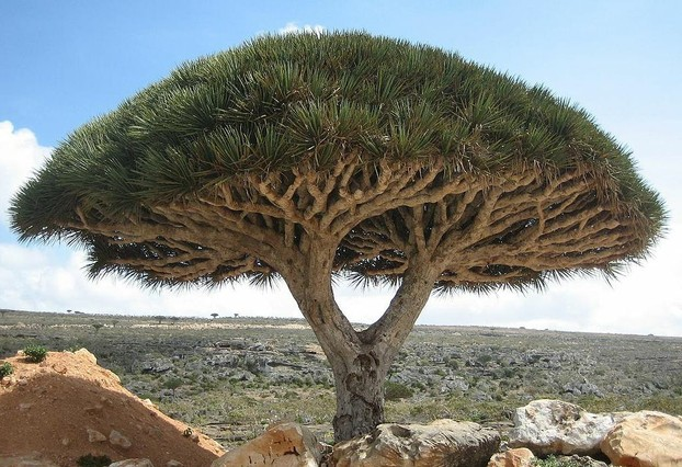 Socotra Dragon Blood Tree
