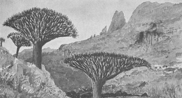 Dragon Blood Trees at Yehazahaz, Mt Haghier's southern slopes