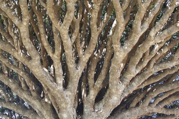 closeup of intricate branching of Socotra Dragon's Blood Tree