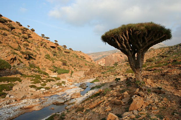 Dragon's Blood Trees and Socotra's rugged landscape seem a perfect match, made for each other.
