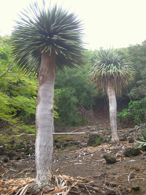 Young Socotra Dragon's Blood Trees: flourishingly cultivated in Koko Crater Botanical Garden, Honolulu