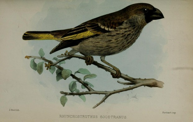 Socotra golden-winged Grosbeak:  lithograph by Dutch zoological illustrator Joseph Smit  (July 18, 1836–Nov 4, 1929)