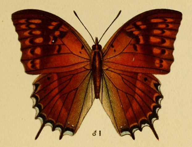 Charaxes balfouri: lithograph by Maud Horman-Fisher