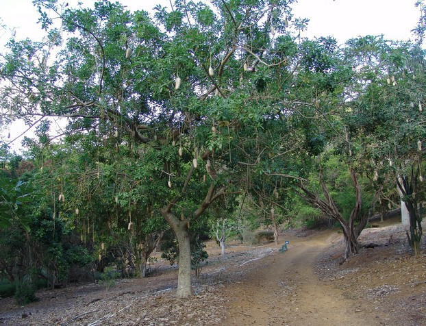P. protopunica (far left) is overshadowed by continental African native sausage tree (Kigelia), Koko Crater Botanical Garden
