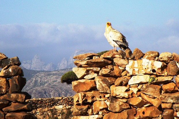 endangered Egyptian vulture (Neophron percnopterus)