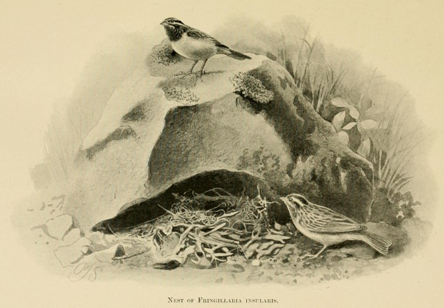 Fringillaria insularis (now Emberiza tahapisi insularis): Cinnamon-breasted bunting (Socotra) ~ illustration by P.J. Smit