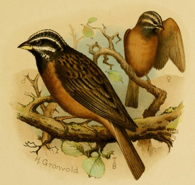 Fringillaria insularis (now Emberiza tahapisi insularis):  illustration by Henrik Grönvold (September 6, 1858 – March 23, 1940)
