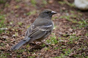 female blue chaffinch