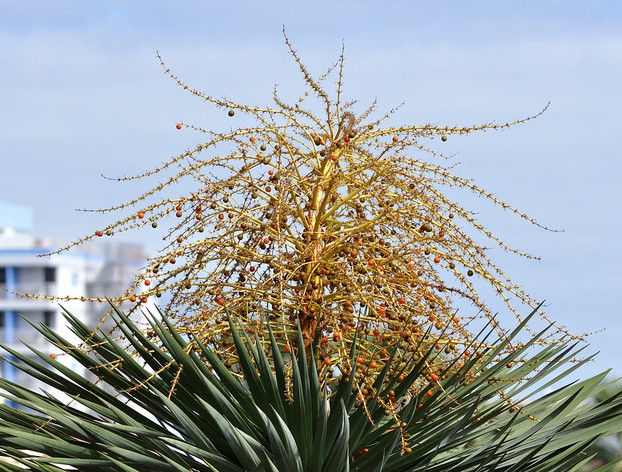 infructescence (fruiting stage) of flowering Tenerife dragon tree, Puerto de la Cruz, Tenerife