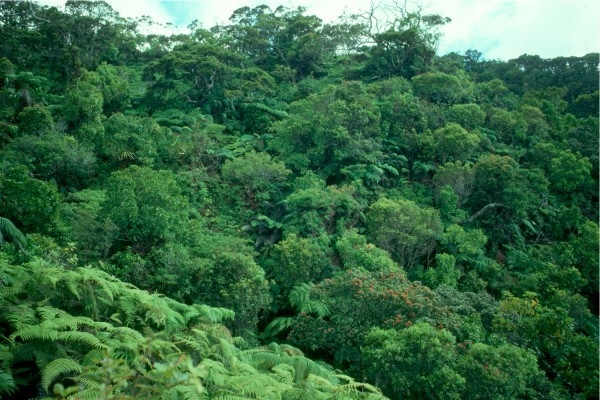 Native Ohia-fern forest lies at the Pu`u Ali`i Ridge above Pelekunu Valley.