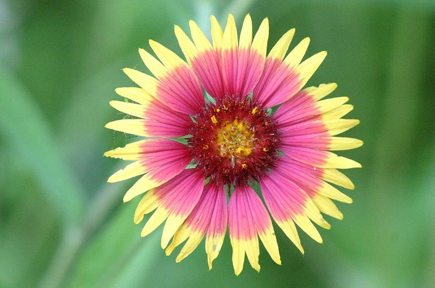 Indian blanket (Gaillardia pulchella), Onion Creek Hike and Bike Trail, McKinney Falls State Park, Austin, central Texas