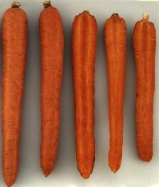 New darker-orange varieties produced by breeding program; also high in carotene levels.
