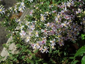 Blue Wood Aster Blooming in an Urban Flower Bed