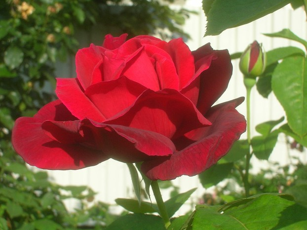 """Rosa 'Chrysler Imperial' in the Volksgarten in Vienna. Identified by sign."""