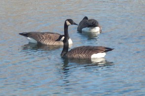 Canadian Geese in Arkansas