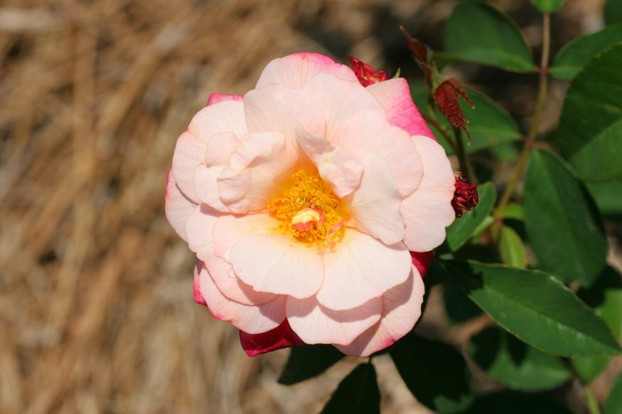 'Léonie Lamesch':  Florida Southern College Roses April 2008