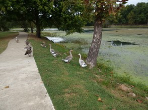 Ducks and Geese at Mammoth Spring State Park