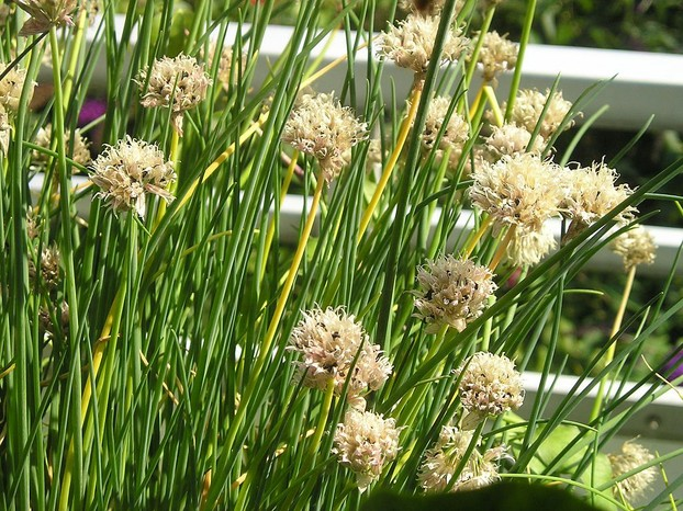 """Chives small three-valved capsule with seeds"""