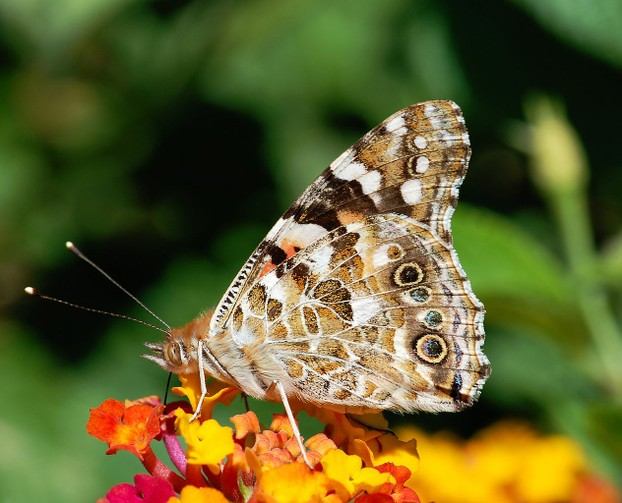Painted Lady in August
