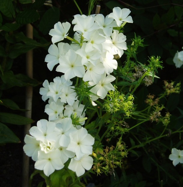 phlox drummondii an annual that attracts familiar and unusual hummingbirds. Black Bedroom Furniture Sets. Home Design Ideas