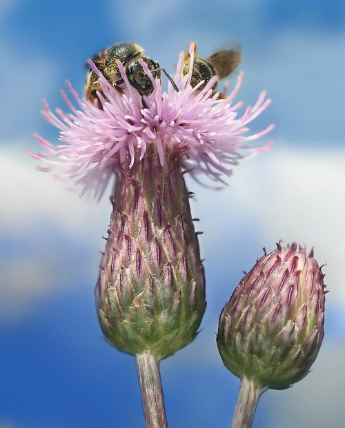 """Two Bees on a Creeping Thistle (Cirsium arvense)"""