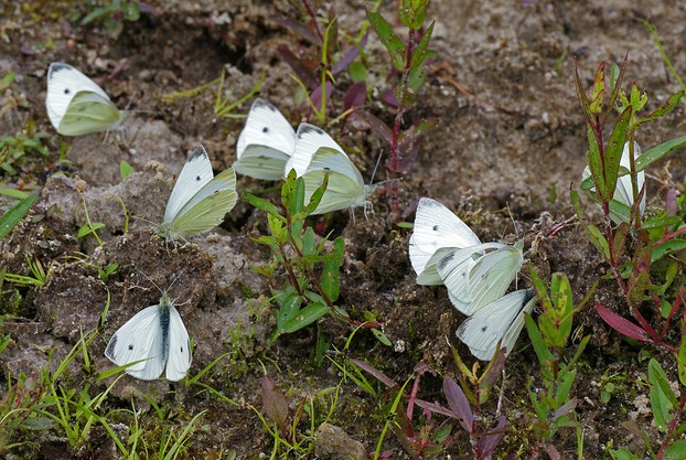 """A collective salt lick of Small Whites, Pieris rapae, on alternate-soaked sandy clay (dried pool)."""