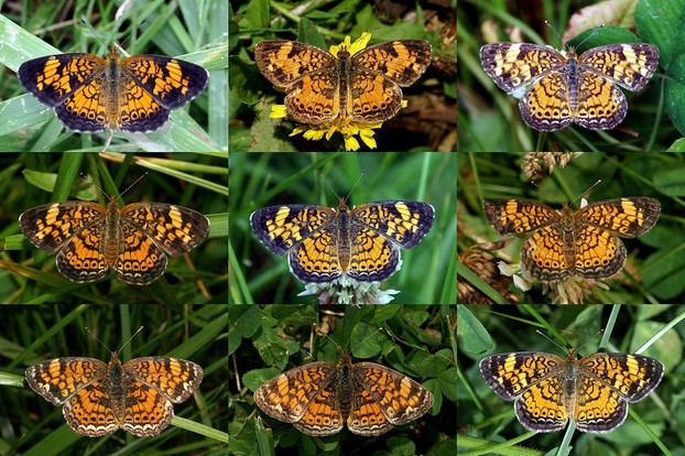 """Composite photograph showing the variability in the Pearl Crescent species."""