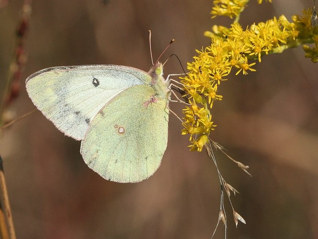 albino Clouded Sulphur in October