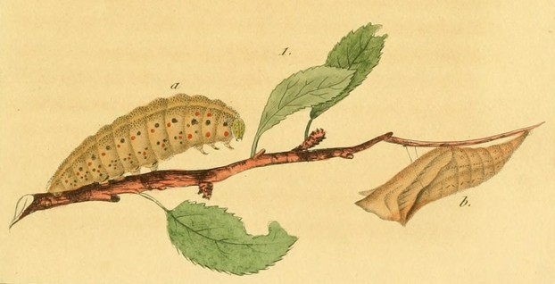 chrysalis by Vincent-Louis Jourdin-Pellieux (1805-1883); caterpillar landscape by P. Duménil