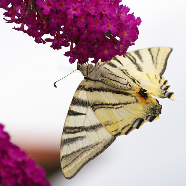 butterfly bush (Buddleja)