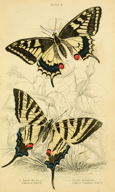 illustration by Scottish naturalist James Duncan (1804–1861)