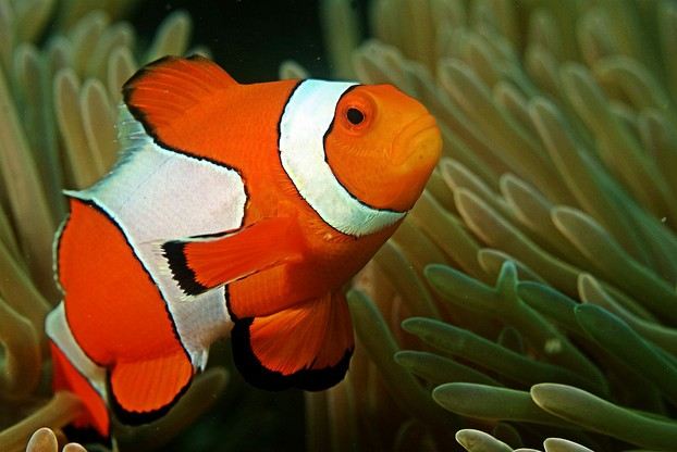 clownfish in coral reef, Andaman Islands, Bay of Bengal, northeastern Indian Ocean