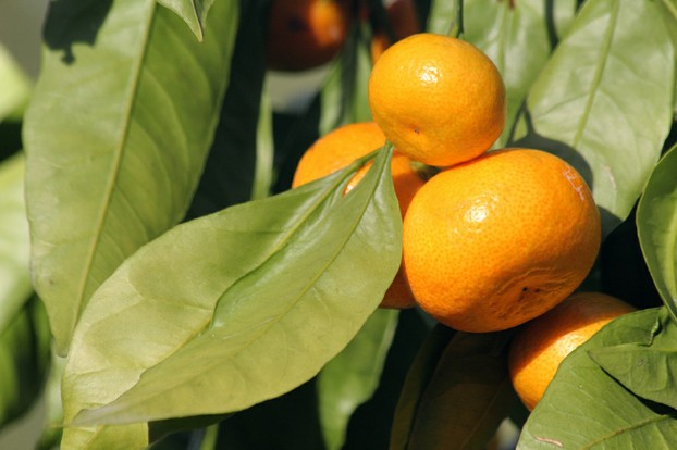 closeup of leaves and fruits of mandarin orange tree (Citrus reticulata), Berkeley Botanical Garden