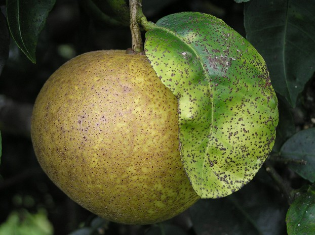 """Melanose of grapefruit near Kea'au, Hawaii."""
