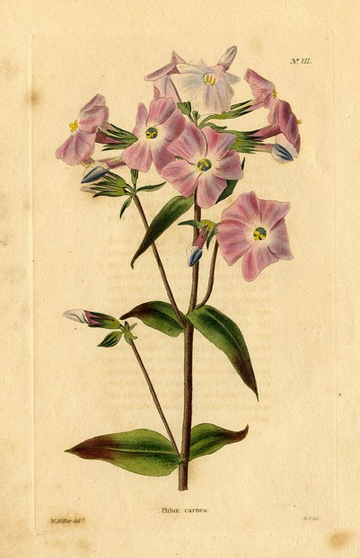 "Phlox carnea drawn by William Miller from ""The Botanical Cabinet"" (London 1817-1833) plate 711"