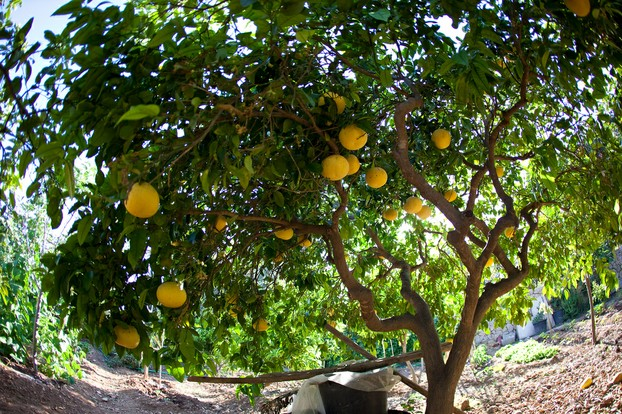 Citrus x paradisi tree in fruit