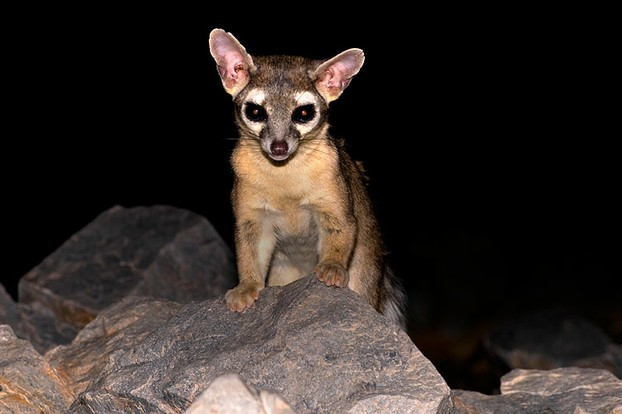 ringtail, Piestewa Peak, Phoenix Mountain Reserve, south central Arizona