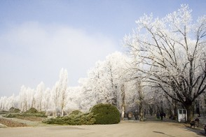 Trees covered in hoary frost