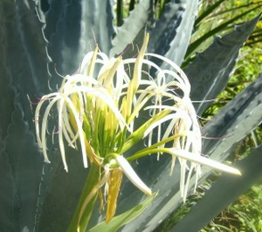 Florida Cactus with White Flowers