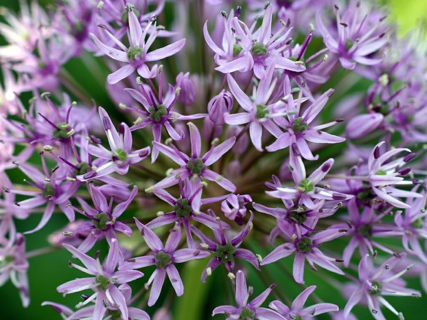 The odor of plants in the Allium genus is repugnant to slugs.