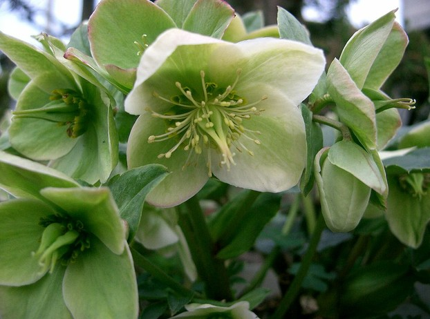 J.T. Wall is credited with first valid description of Helleborus x nigercors, published in Gardeners' Chronicle in 1934.