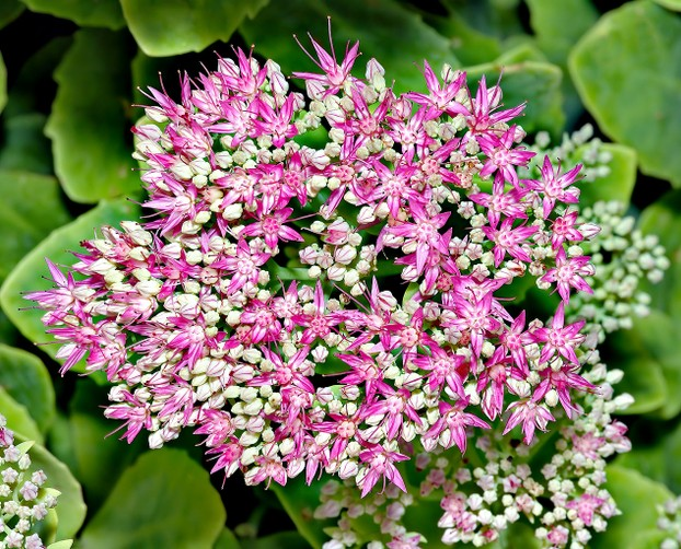 In addition to its spectacular flowers, Sedum spectabile is valued for its resistance to drought.