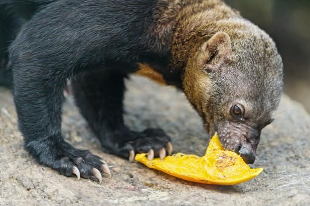 tayra eating fruit