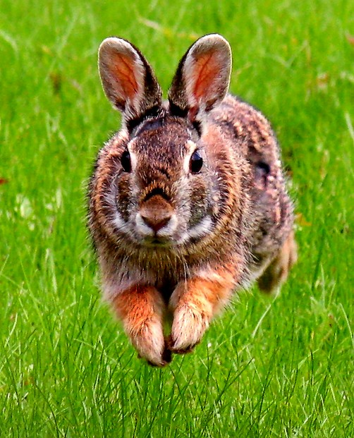 jumping Eastern cottontail
