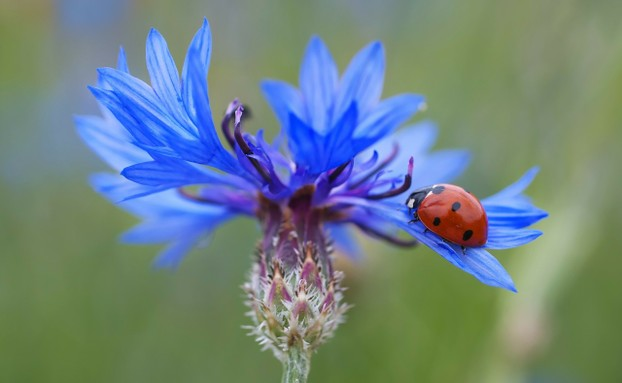 Blue Cornflower with Lady Bug Beetle