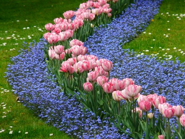 Pink tulips lined with forget-me-nots