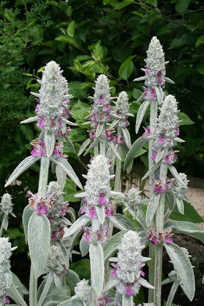 Stachys lanata and Stachys olympica are scientific synonyms for this drought-tolerant plant.