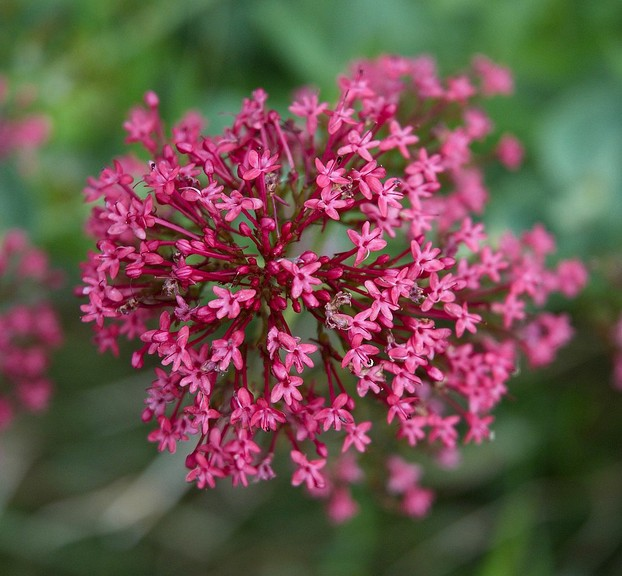 A picturesque common name for Centranthus ruber is scarlet lightning.